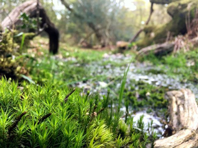 Mossporn Moss New Forest Close-up Stream Curled Wood Natural Curves EyeEm Nature Lover Shot On IPhone 6s Forest Forest Photography