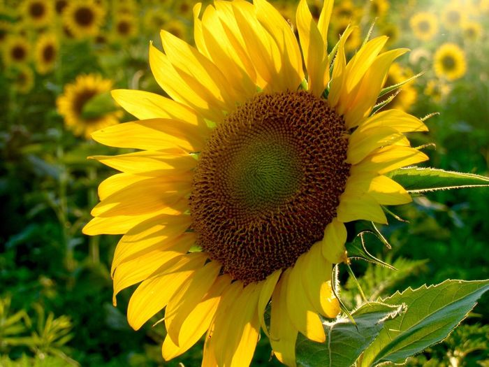 Flower Yellow Nature Petal Sunflower Flower Head Fragility Beauty In Nature Plant Growth Freshness Outdoors Field Pollen Close-up Day Focus On Foreground Sunflower Sunflowers Field No People Country Indiana MidWest Country Life Countryside