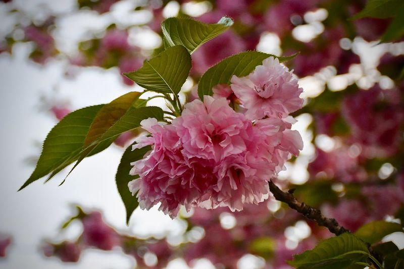 Double Cherry Blossoms EyeEm Nature Lover EyeEm Best Shots - Flowers Plant Flowering Plant Flower Beauty In Nature Vulnerability  Fragility Growth Freshness Close-up Flower Head Blossom Leaf Day Pink Color Petal