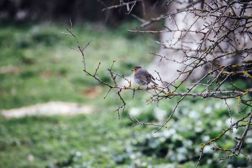 Beauty In Nature Bird Branch Connected With Nature Grass Green Color Nature Outdoors Plant Resting Robin Scenics Selective Focus Sierra Del Torcal Torcal De Antequera Tranquil Scene Tranquility Tree Twig Weather