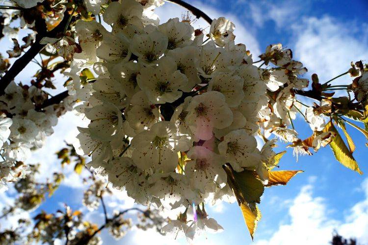 Tree Flower Growth Beauty In Nature Nature Sky Freshness Day Fragility Outdoors White Color Springtime No People Petal Cloud - Sky Close-up Flower Head Blooming