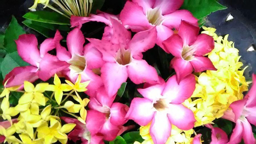 Close-up Pink Flower 🌸 Asoka Kuning Beauty Full Frame Beautiful Colors No People Freshness