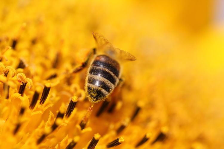 Detail shot of honey bee on yellow flower
