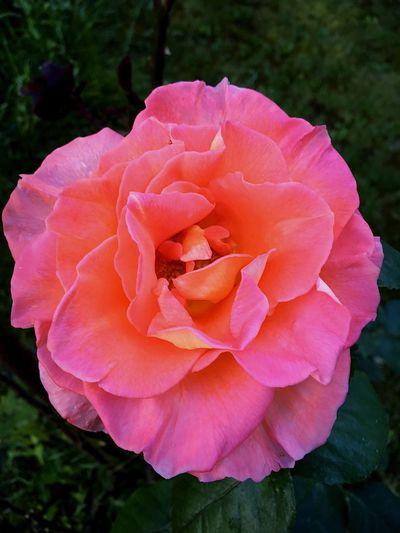 Rose🌹 Beautiful Colorful Green Orange Flower Close-up IPhone SE Hungary Abda Garden Afternoon Summer