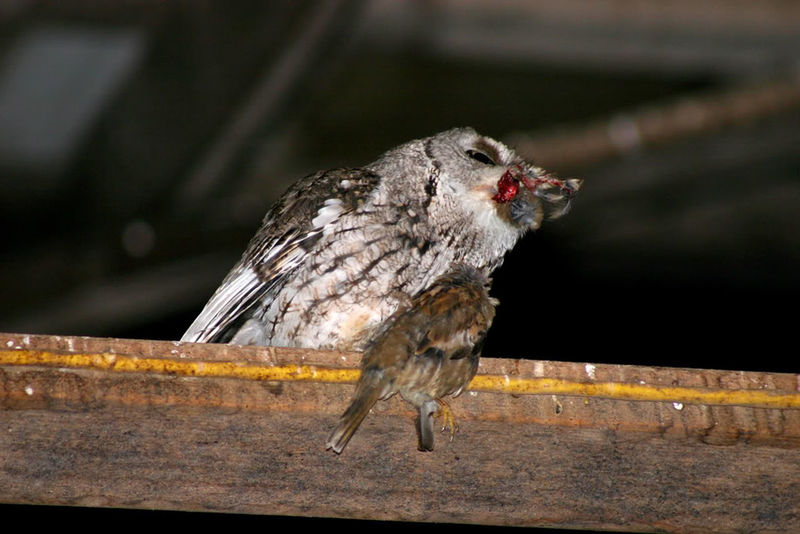Off with his head ... Owl Bird Photography Birds Of Prey Screech Owl Barn Sparrow Ouch Death Nature CIRCLE Of LIFE