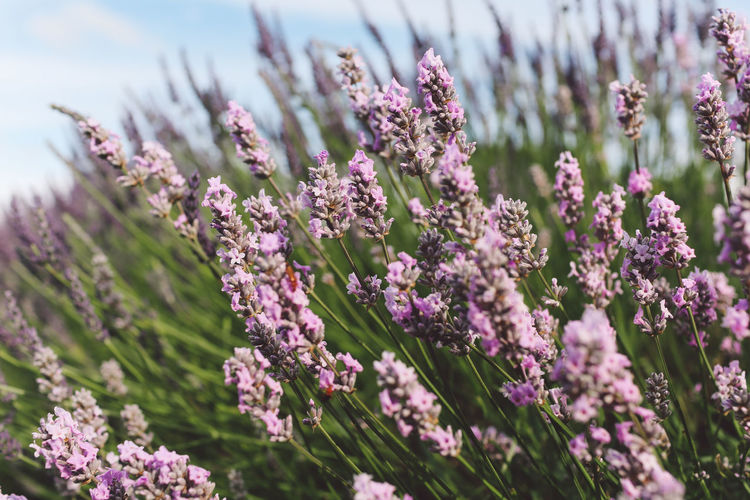 Beauty In Nature Blooming Blossom Close-up Day Flower Flower Head Focus On Foreground Fragility Freshness Growth In Bloom Lavanda Lavander Lavander Flowers Lavanderfields Nature Outdoors Petal Pink Color Plant Purple Selective Focus Stem Summer