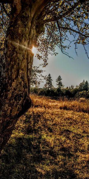 Tree Beauty In Nature Tree Trunk Sunlight Tranquil Scene Outdoors No People Landscape Day Apple Tree Sun Beautiful Field Sunlight Obscured Lost In The Landscape The Week On EyeEm Light Effect Tranquility