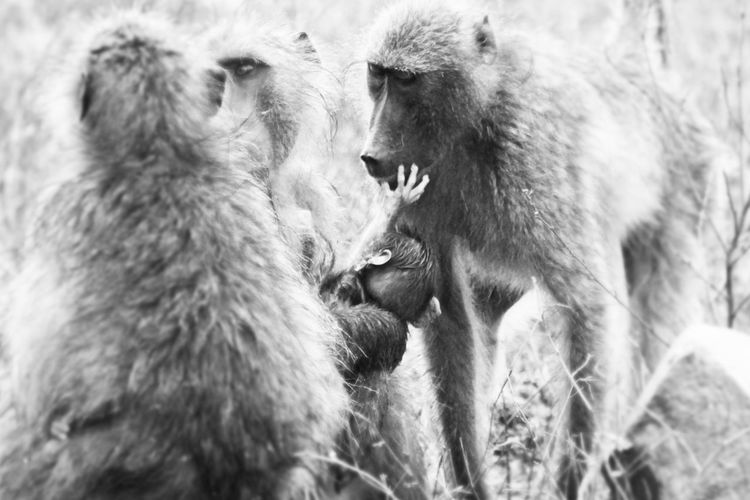 Black And White Friday EyeEm Selects Animal Wildlife Fighting Two Animals Animals In The Wild Mammal No People Animal Themes Conflict Nature Wolf Outdoors Togetherness Baboon Close-up Day