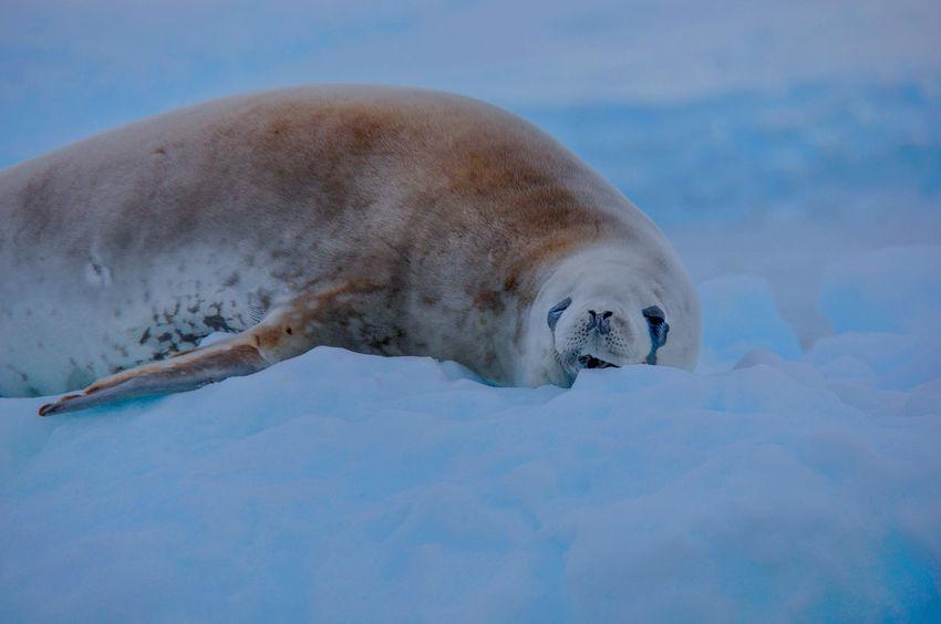 Antarctica Nature Iceberg Weddell Seal Ziseetheworld Ziwang Ice Antarctic Peninsula