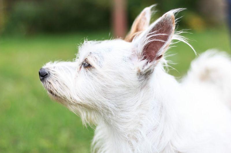 Hund One Animal Domestic Animals Pets Animal Themes Domestic Animal Dog White Color Looking Animal Hair