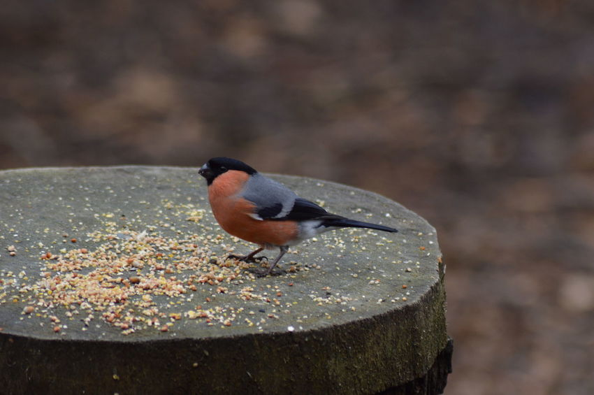 Animal Themes Animal Wildlife Animals In The Wild Beauty In Nature Bird Blackbird Bullfinch Close-up Day Focus On Foreground Full Length Living Organism Nature No People One Animal Outdoors Perching Songbird  Standing