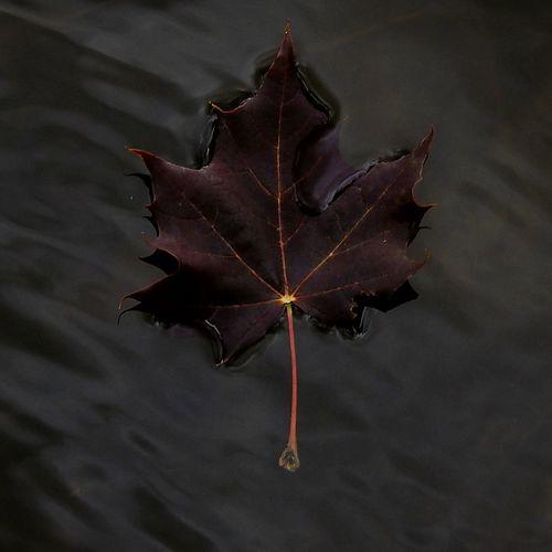 Autumn Leaf Black Background Arts Culture And Entertainment Red Black Color Dark Close-up