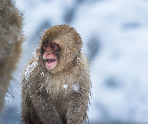 Snow monkey in a hot spring, Nagano, Japan Animal Animal Head  Animal Themes Animal Wildlife Animals In The Wild Cold Temperature Day Focus On Foreground Frozen Japanese Macaque Looking Mammal Monkey Mouth Open Nature One Animal Portrait Primate Snow Snowing Vertebrate Winter