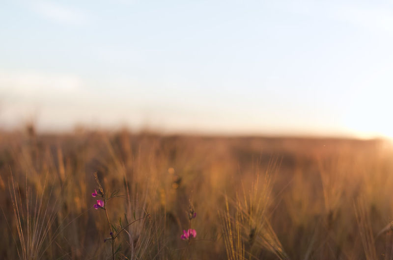 Wildflowers growing on wheat farm during sunset
