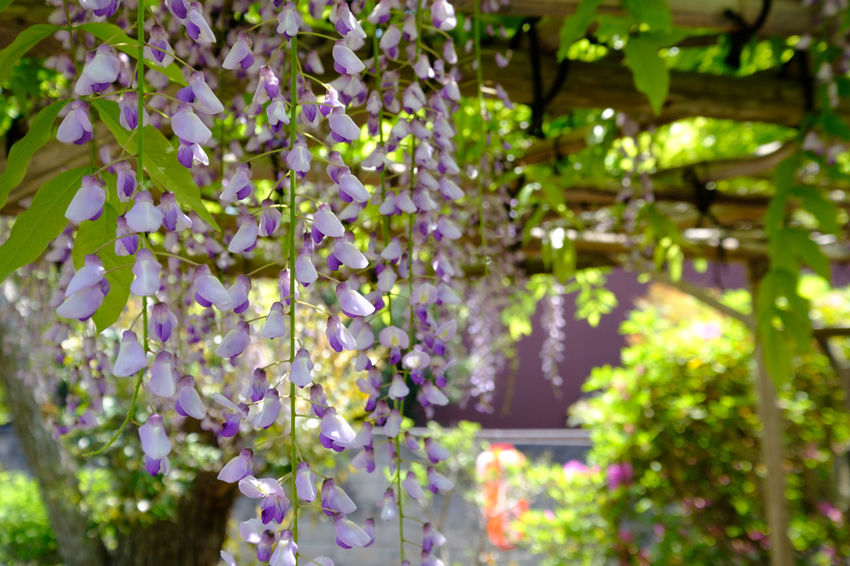 宮久保山高圓寺の長寿藤/Wisteria Flower Flower Collection Flowerporn Flowers Fujifilm FUJIFILM X-T2 Fujifilm_xseries Ichikawa Japan Japan Photography Wisteria Wisteria Flower X-t2 宮久保 市川 藤 藤の花 藤棚 高圓寺