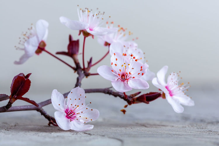 Close-up of pink cherry blossoms on wood