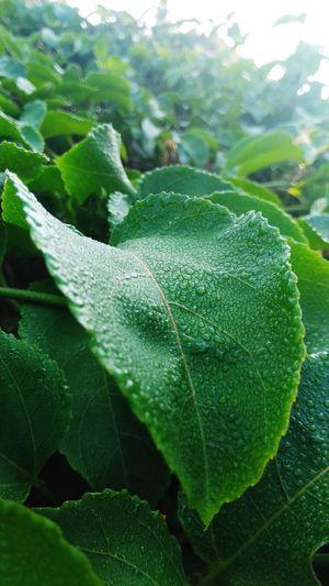 wet Leaf Close-up Green Color Plant Dew Plant Life Wet Rain Rainy Season Droplet Water Drop