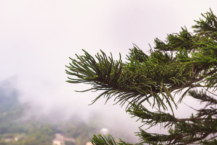 Plant Growth Tree Green Color Nature No People Close-up Beauty In Nature Branch Day Tranquility Focus On Foreground Pine Tree Selective Focus Needle - Plant Part Sky Outdoors Coniferous Tree Leaf Fir Tree