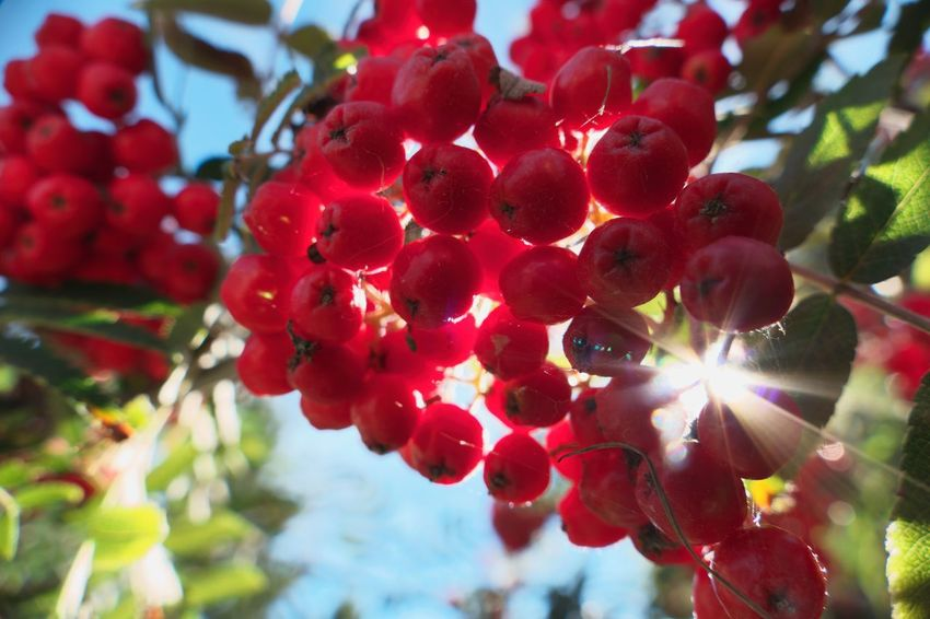 Beauty In Nature Berry Fruit Branch Close-up Day Focus On Foreground Freshness Growth Nature No People Outdoors Plant Red Rowanberry Selective Focus Sunlight Tree