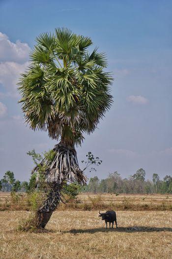 Buffalo Sugar Palm Tree Plant Tree Mammal Animal Themes Animal Field Nature