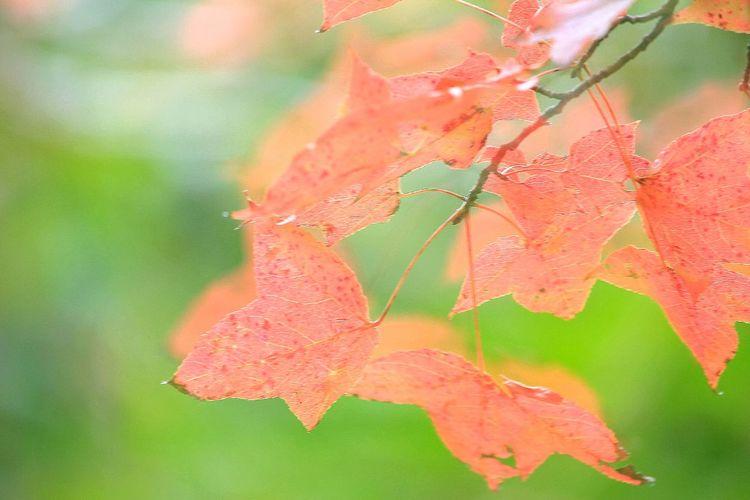 嬌美 Maple 楓香林 大棠