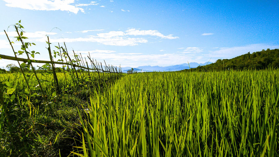 Expanse of rice fields and mountains in the distance. Photo location: Moncongloe Maros, South Sulawesi Indonesia Paddy Field Plants Nature Rice Green Mountains Blue Sky Panorama Cereal Plant Water Tree Rural Scene Crop  Sky Grass
