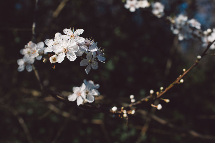 Plant Flower Flowering Plant Freshness Fragility Growth Vulnerability  Blossom Tree Beauty In Nature White Color Nature Springtime Day Focus On Foreground Close-up Branch No People Twig Cherry Blossom Outdoors Flower Head Cherry Tree Pollen Spring