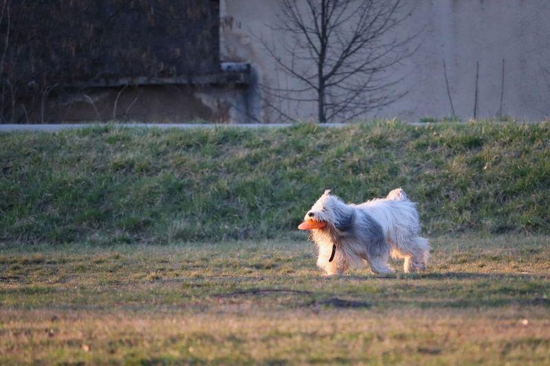 Dog running in a field