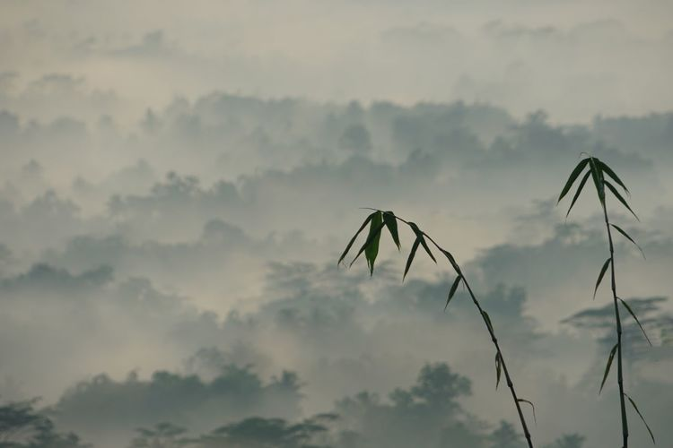 Bamboo tip Cloud - Sky Sky No People Plant Nature Low Angle View Silhouette Tranquil Scene Outdoors Focus On Foreground Tranquility Growth Beauty In Nature Day Mountain Fog Tree Landscape Environment