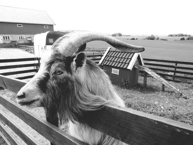 Goat Black And White Nature Family Farm Farm Life