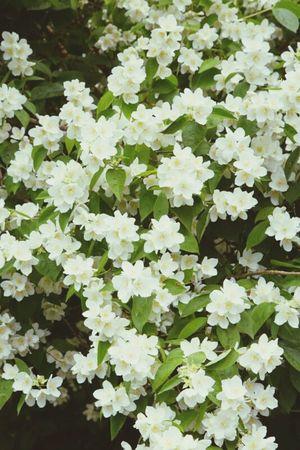 Flower Plant Outdoors Beauty In Nature Falscher Jasmin Jasmine Collection Freshness Summer HAMBURG ... Moin Moin