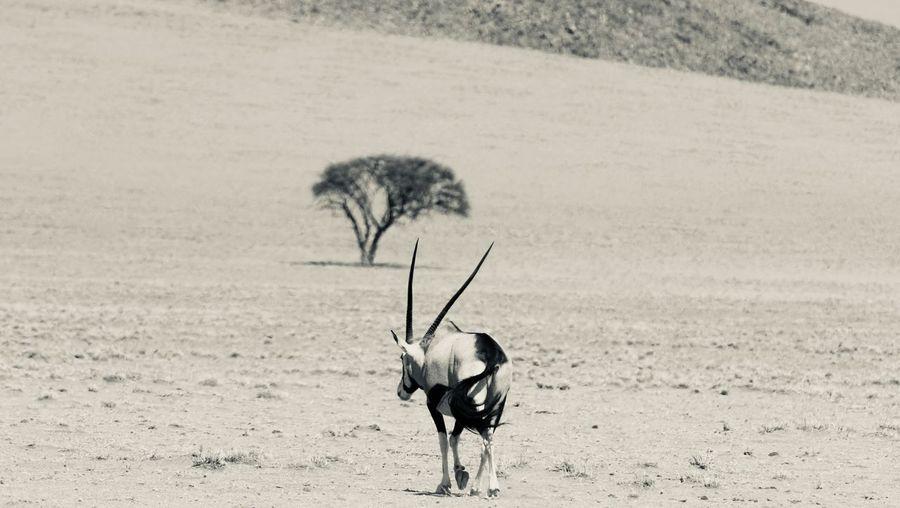 Oryx walking on field