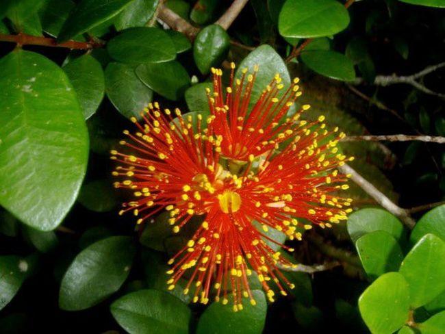 New Zealand Pohutukawa Kiwi Christmas Tree Iconic