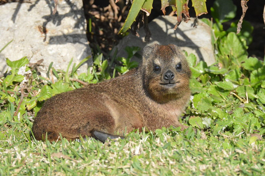 Animals Close-up Cute Animal Dassie Nature Tame Tsitsikamma