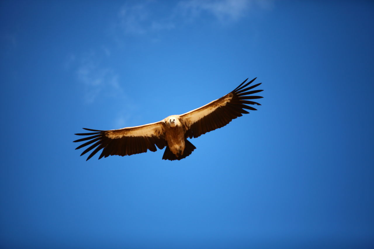 spread wings, one animal, flying, bird, animal themes, animals in the wild, animal wildlife, low angle view, mid-air, blue, nature, no people, day, clear sky, outdoors, sky, motion, beauty in nature, bird of prey, full length