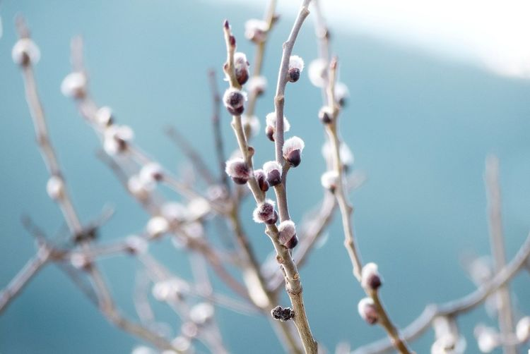 Close-up of pussy willow plant