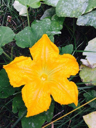 Flower Pumpkin Flower Pumpkin Blossom Growth Nature Flower Head Outdoors Blooming Yellow