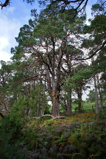 Scotspine Beauty In Nature Branch Day Europe Forest Green Color Growth Highlands Holidays Loch An Eilein Low Angle View Nature No People Outdoors Scenics Scotland Scotspine Sky Tranquility Traveling Tree Tree Trunk Uk
