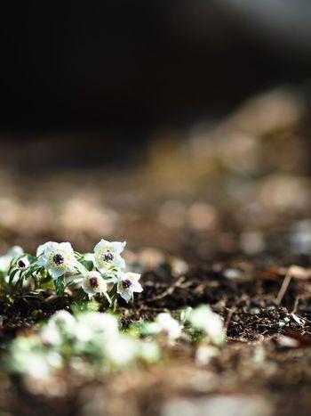 1日遅くなりましたが、セツブンソウ。 Olympus OM-D E-M5 Mk.II Eranthis Flower Head Flower Selective Focus Close-up No People Plant Growth Day
