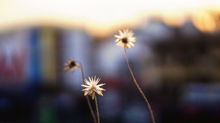 Before sunset3 Eveining Nature Flower Growth Fragility Focus On Foreground Beauty In Nature No People Plant Freshness Outdoors Flower Head Day Ratchaburi, Thailand Beauty In Nature Sky Nature