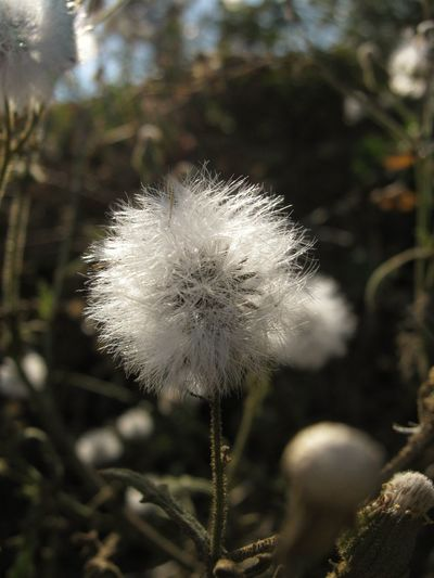 Sow thistle Flower Plant White Color Flower Head Outdoors Beauty In Nature Uncultivated Close-up Day Softness Fragility Growth Freshness Nature Sow Thistle Autumn