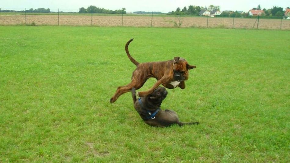 Boxer Dog Playing Funny Kungfu  Nature Snapshot Boxerlove Dog❤ Playing Dogs