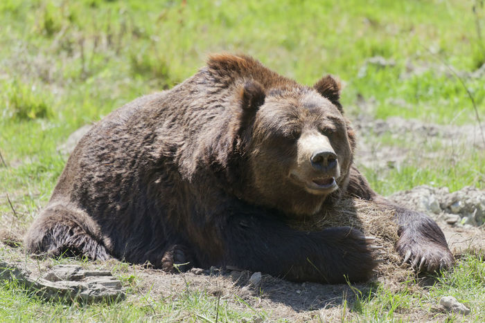 Brown bear on meadow - Ursus arctos Animal Themes Animal Wildlife Animals In The Wild Bear Brown Brown Bear Close-up Curious Day Full Length Grass Lazy Lying Down Mammal Nature No People Omnivore One Animal Outdoors Predator Relax Resting Ursus Wild Wildlife