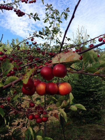 Orchard Delight ~ Apple Close-up Crisp Day Freshness Fruit Fruits Growth Juicy Nature No People Outdoors Ready To Eat Red Red Apple Ripe Ripe Fruit Sky Tree