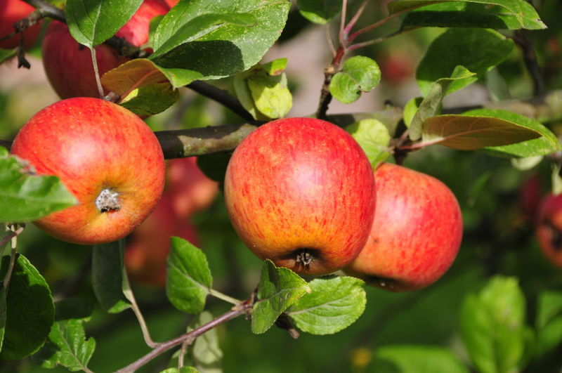 Apples Apple Red Fruit Apfel Äpfel Frucht Früchte Fruitsgarden Garten Rot Essen Gesundheit Health Healthy Vitamins Vitamine Obst Fruit Leaf Growth Red Healthy Eating Freshness Tree Nature Apple - Fruit No People Plant Close-up Outdoors