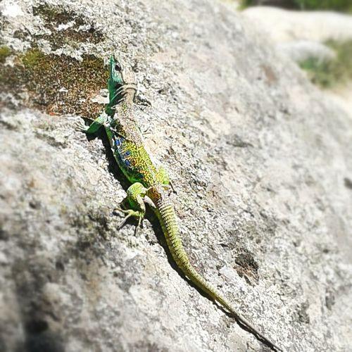 Timon Lepidus Lizard Lagarto Ocelado La Pedriza