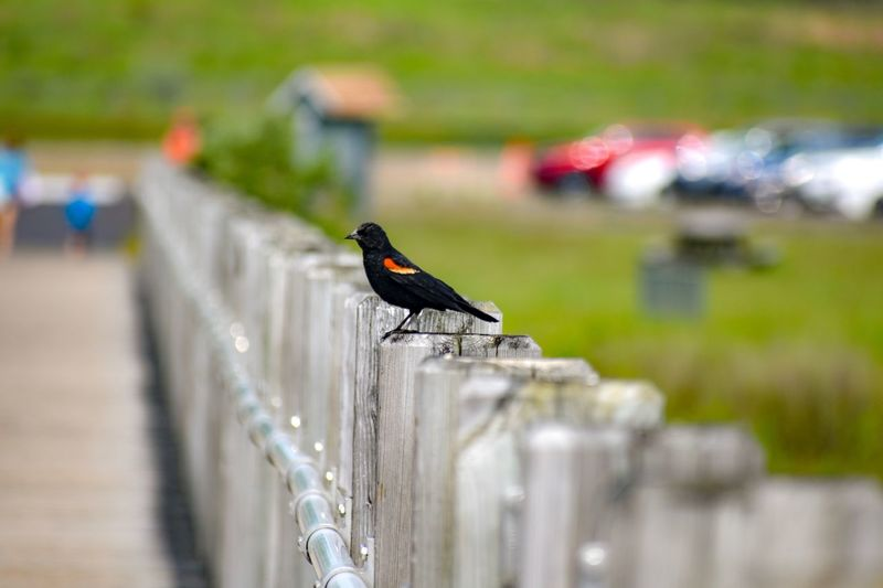 Red winged blackbird Shoreline Birds Milford, CT Silver Sands State Park EyeEm Selects Animal Themes Animal One Animal Animal Wildlife Focus On Foreground Animals In The Wild In A Row Close-up Barrier Land Vertebrate Environment Plant Perching Selective Focus No People Bird Day Outdoors Nature