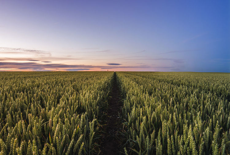 Scenic view of wheat field at sunset