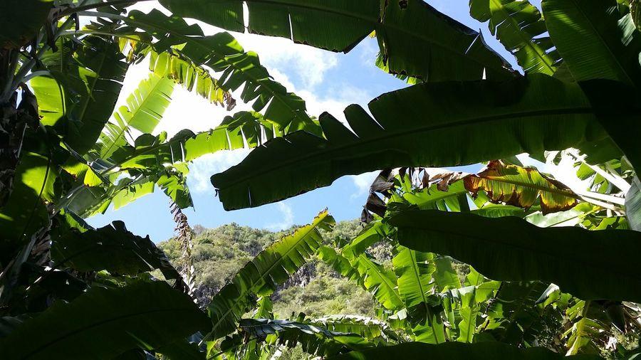 Sentier Dassi dans le fond du bras de la plaine sous l'Entre-Deux River EyeEmNewHere Reunion Island Trail Running Banana Sentier Trees