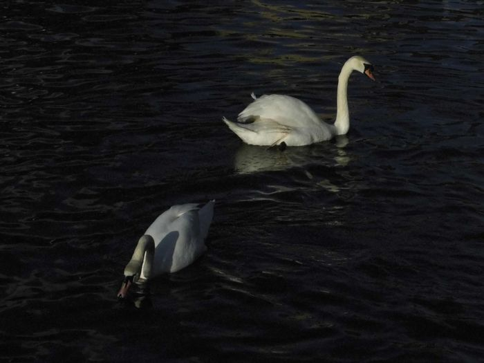 2 Animal Themes Animals In The Wild Balance Bird Floating On Water Rippled Swan Swans Swimming Togetherness Two Animals Water White White Color Zoology